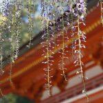 藤の季節の春日大社