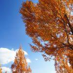 [:ja]精華大通りメタセコイヤ並木の紅葉[:en]Metasequoia row of trees of the Seika main street[:]