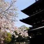 興福寺の桜