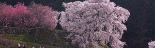 matabe/sakura